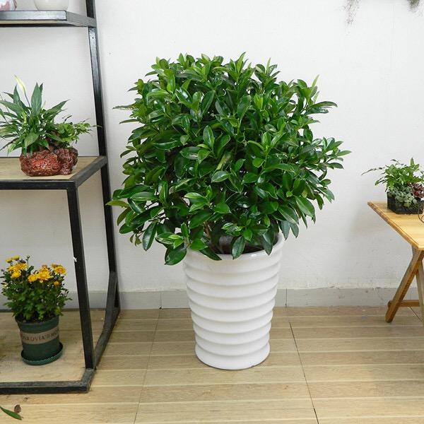 吸甲醛大绿植非洲茉莉