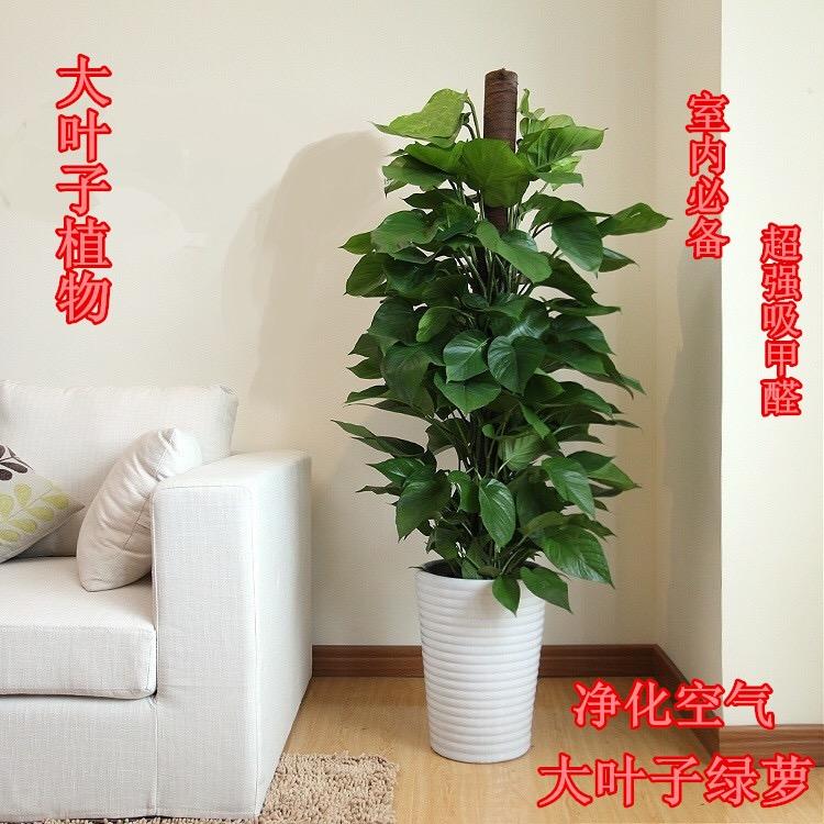 室内植物大绿萝柱