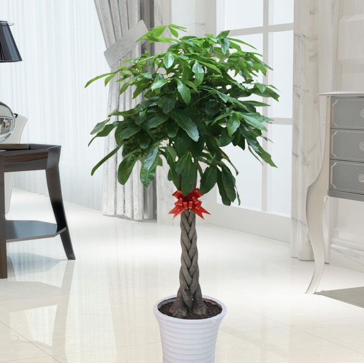 高档绿植发财树