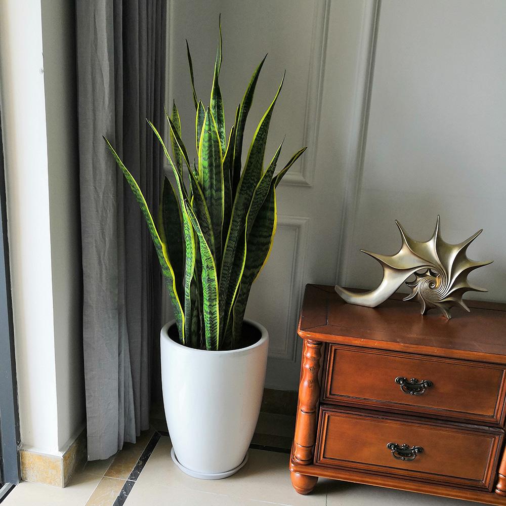 虎皮蘭 植物花卉租賃銷售